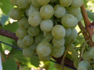 Виноград Галбена Ноу: описание сорта, фото, отзывы