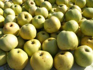 Антоновка сорт яблок фото