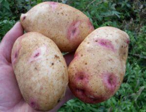 Описание картофеля Барин