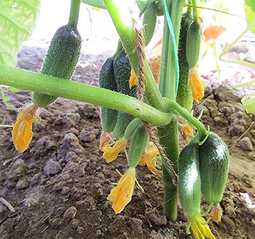 Огурец Клавдия любимый сорт огородников