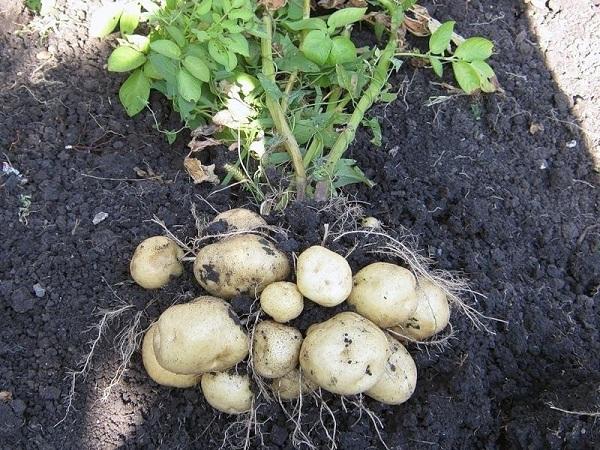 Картофель Удача: характеристика сорта, отзывы