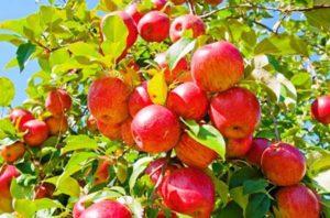 Описание яблони Мечта