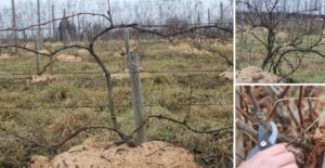 Виноград Зилга: описание сорта, фото, отзывы