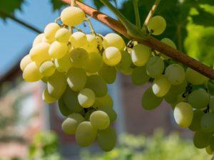 Виноград Элегант: описание сорта, фото, отзывы