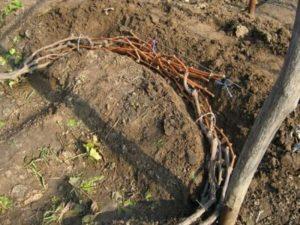 Виноград Столетие: описание сорта, фото, отзывы