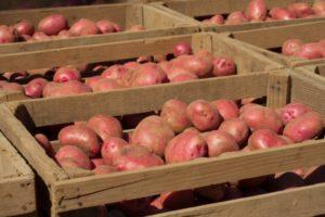 Картофель Скарлет: описание сорта, фото, отзывы