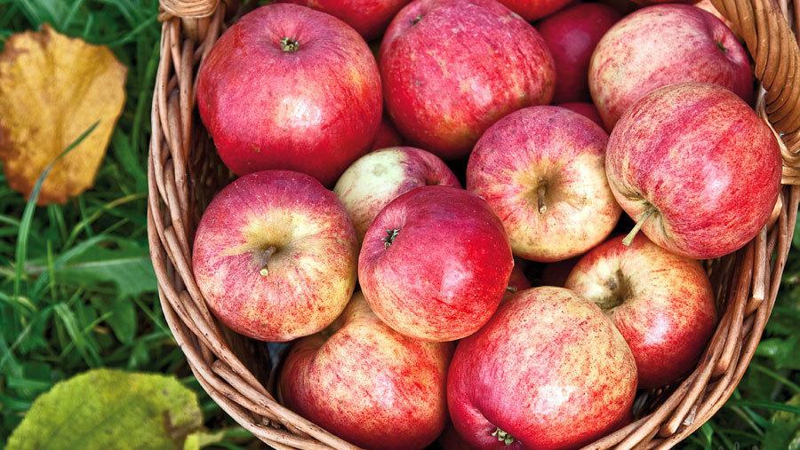 штрифель сорт яблок фото два года