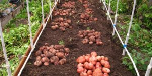 Характеристика картофеля Ароза