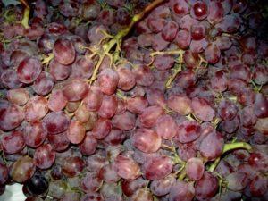 Виноград Тайфи розовый, черный, белый: описание сорта, фото