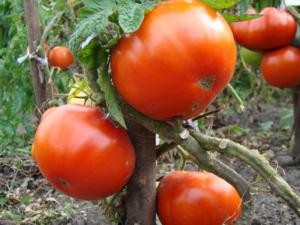 Сорт томатов Куум