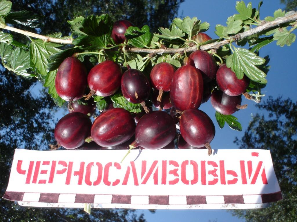 Сорт крыжовника Черносливовый: фото, отзывы, описание, характеристики.