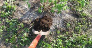 Крыжовник Медовый: характеристика, посадка и уход, выращивание