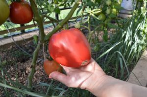 Томат Любящее сердце: характеристика и описание сорта