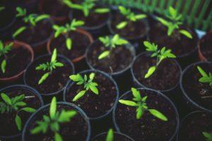 Томат Гаспачо: отзывы, фото, урожайность