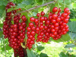 Красная смородина Сахарная: описание сорта + фото
