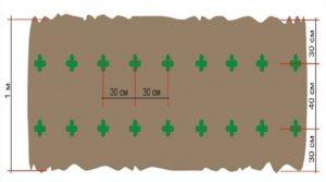 Описание сорта огурцов Трилоджи