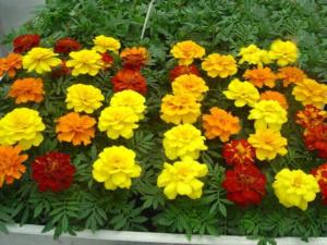 неприхотливые однолетники цветущие все лето без рассады