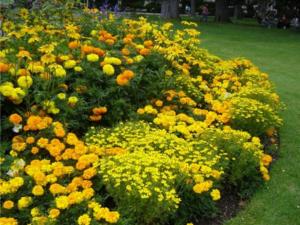 Однолетние цветы, цветущие без рассады: название фото