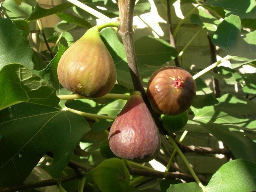 Инжир Брунсвик: выращивание в открытом грунте