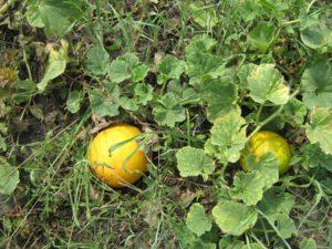 Дыня Золотистая: отзывы, фото, урожайность