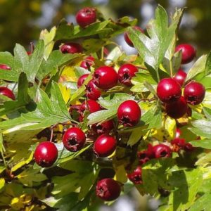 Где растет боярышник и когда можно собирать ягоды