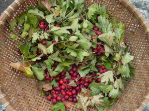 Листья боярышника: лечебные свойства и противопоказания