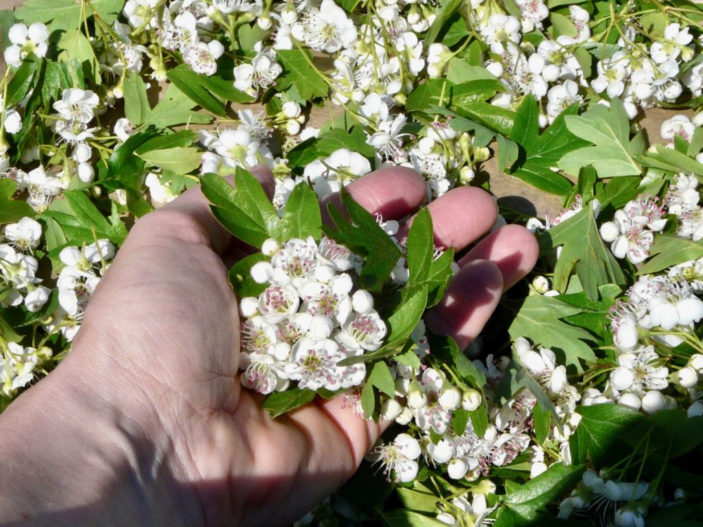 Настойка цветов боярышника противопоказания thumbnail