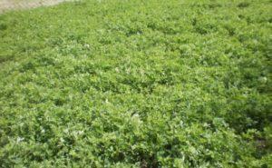 Редька масличная как сидерат: сроки посева, как сажать