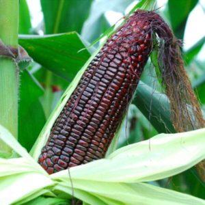Черная кукуруза: условия выращивания и уход, полезные свойства