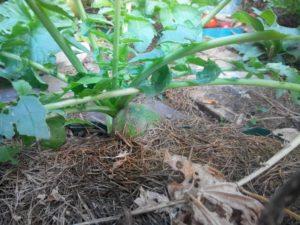 Маргеланская редька: описние, сроки посадки и особенности агротехники