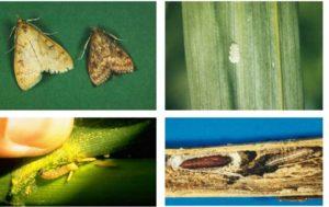 Кукуруза: вредители и болезни