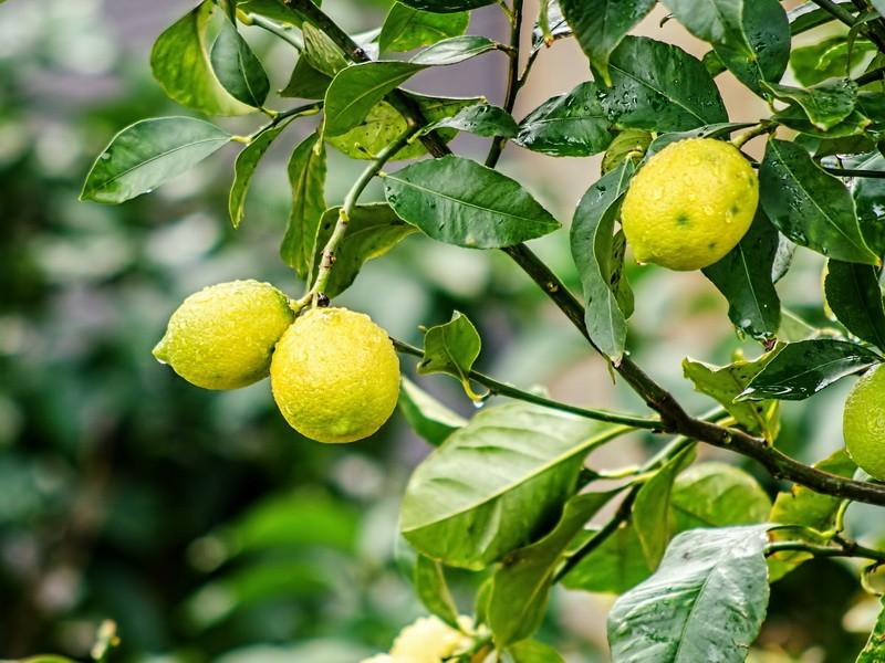 Комнатный лимон в домашних условиях: как ухаживать