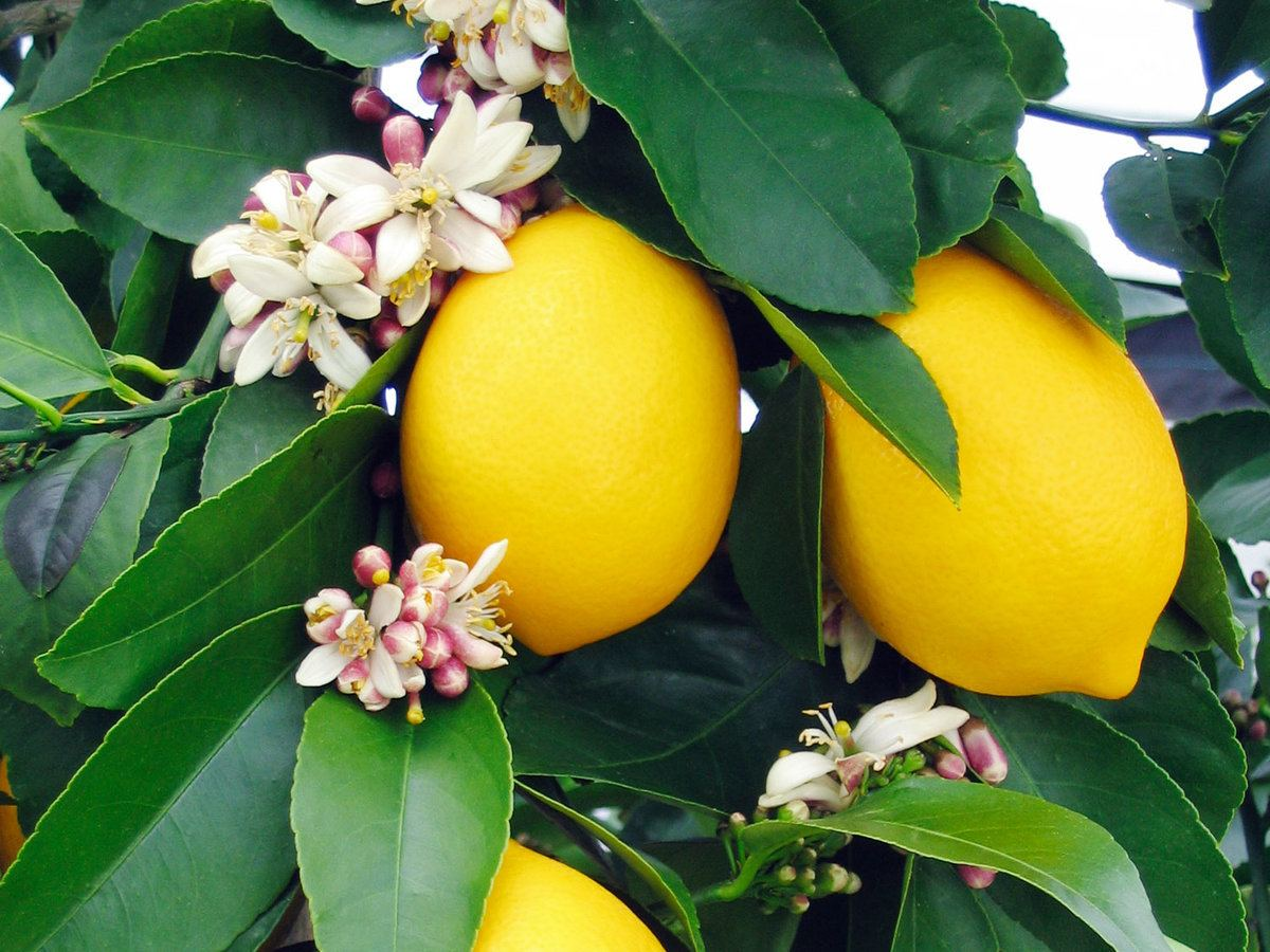 Лимон коммуне
