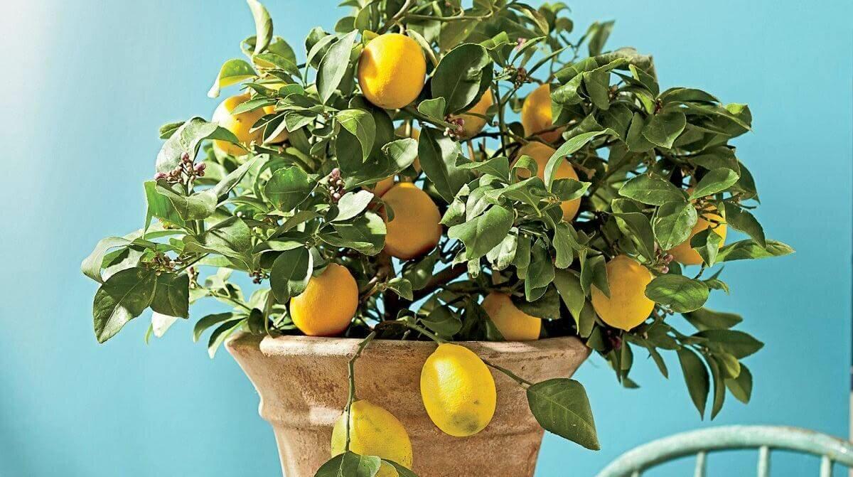 павловский лимон фото квартира досталась