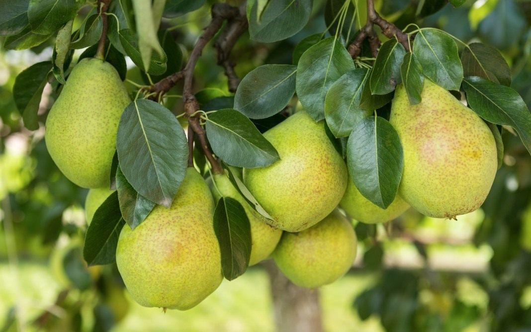 Можно ли привить яблоню на березу и рябину обыкновенную
