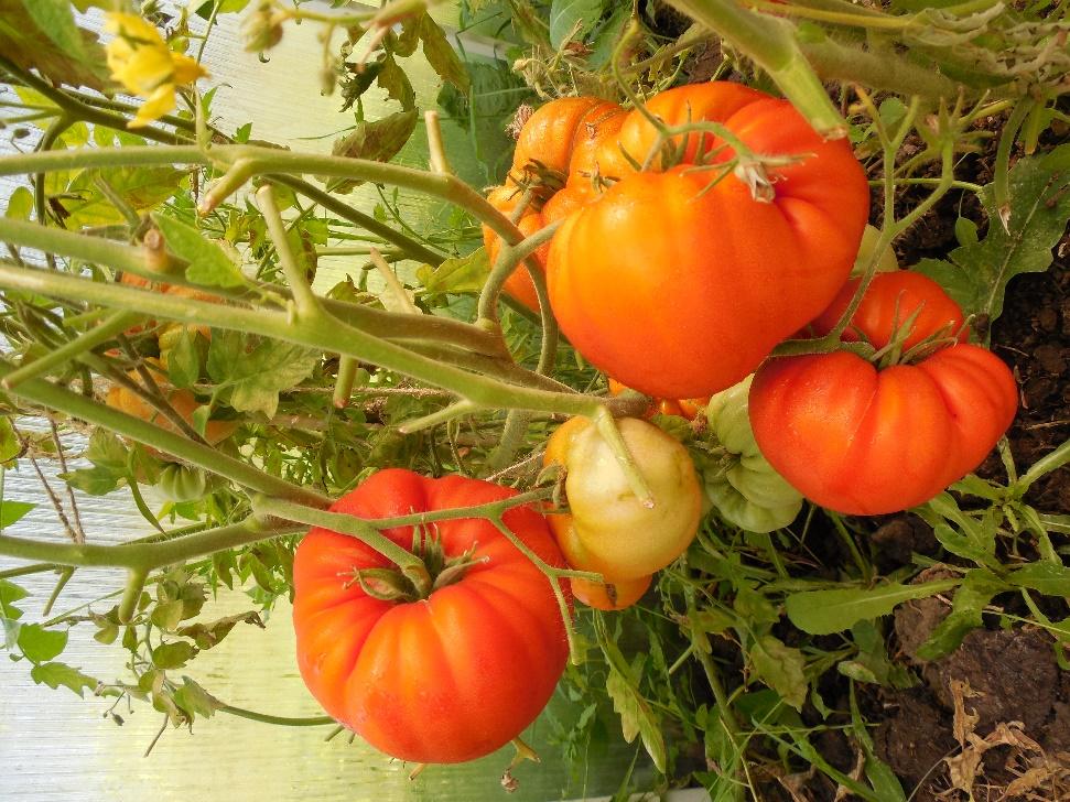 Томат Король королей характеристика и описание сорта урожайность с фото