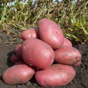 Картофель Балтик Роуз: описание сорта, фото, отзывы