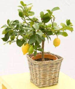 У лимона опадают листья: что делать, причины