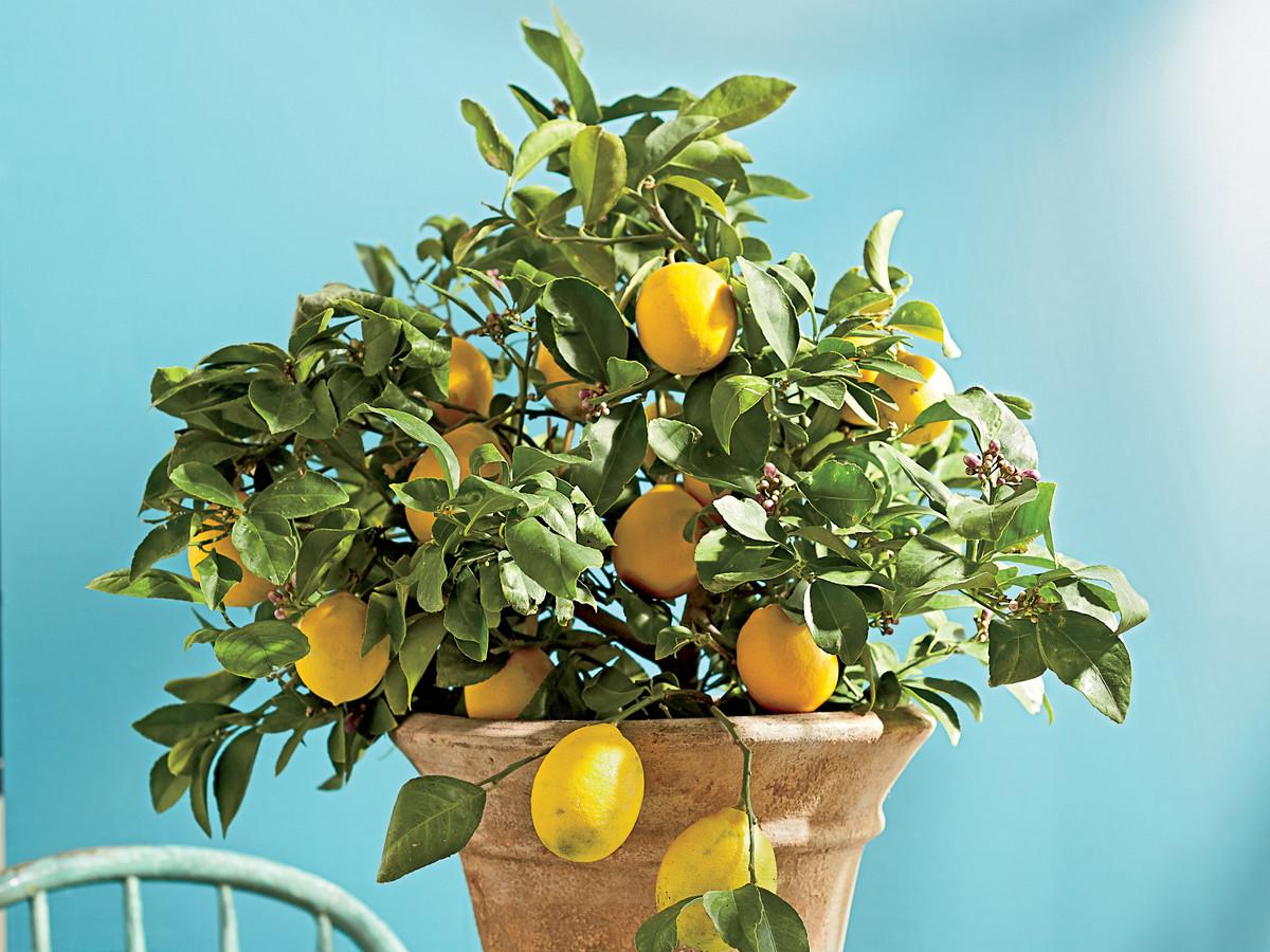 Почему у лимона проблемы с листьями