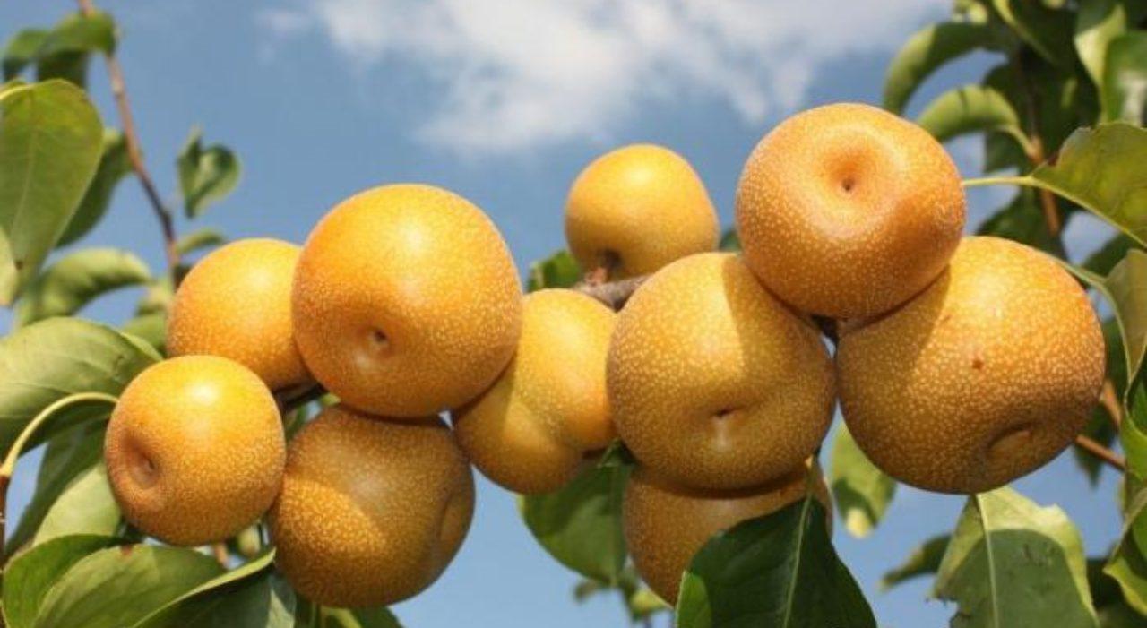 Китайская груша хосу: польза, вред, как едят, рецепты