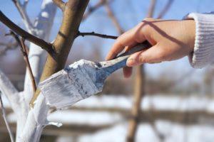 Обязательные мероприятия по уходу за грушей весной и осенью
