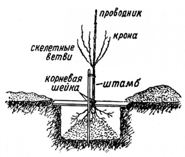 Груша Таврическая: описание и характеристика сорта