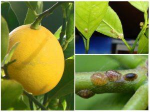 Болезни лимона с фото и описанием