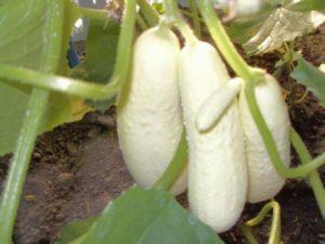 Сорта белых огурцов