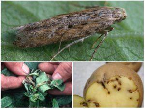 Картофель Янка (Яна): отзывы и характеристика сорта, урожайность