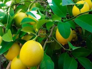 Виды лимонов: какие бывают, как определить, лучшие сорта