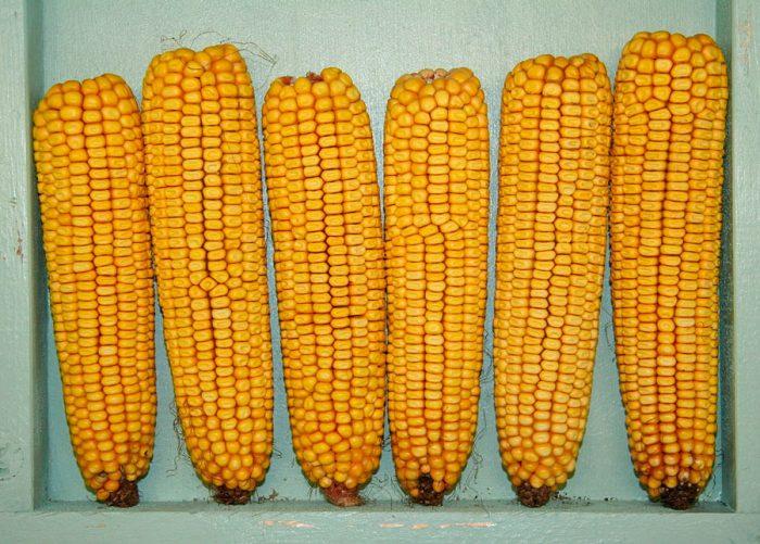 Кукуруза семейство бобовых или злаковых