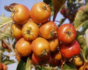 Боярышник: крупноплодный, восточный, понтийский, точечный