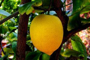 Лимон: это фрукт или ягода, как выглядит и где растет