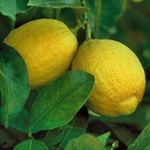 Павловский лимон: уход в домашних условиях